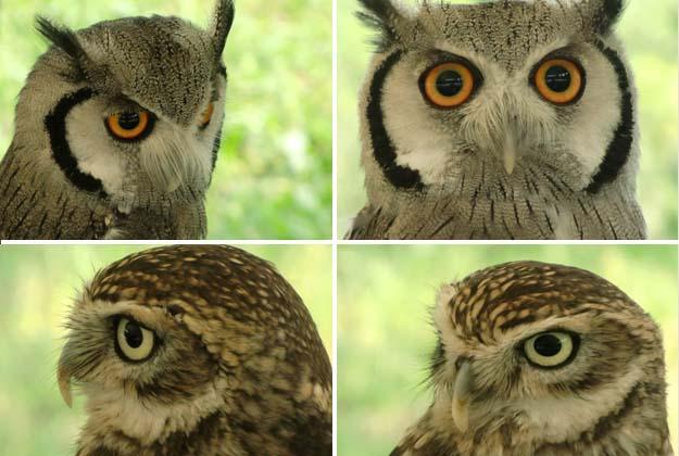Wer ist wohl photogener? Der Falke oder die graue Eule ?