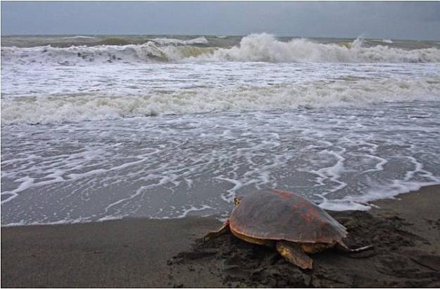 Turtle Maremma