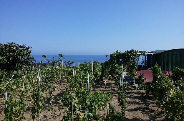 In the heart of the island's shrubland : a sun-kissed vineyard.